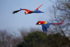 Scarlet Macaws in Flight Stock Images