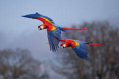 Scarlet Macaws in Flight. Two Scarlet Macaws flying close to each other Stock Photos