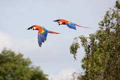 Scarlet Macaws in Flight Royalty Free Stock Images