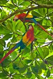 Scarlet Macaws on the fresh tree on the coast of Costarica. Exotic birds paradise in rainforest of Central america, birding in costarican jungle stock images