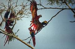 Scarlet Macaws landing on the branches Stock Images