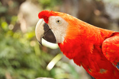 Scarlet macaws in nature Stock Images