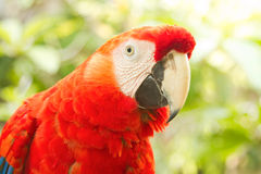 Scarlet macaws in nature. Red Scarlet macaws in nature Stock Images