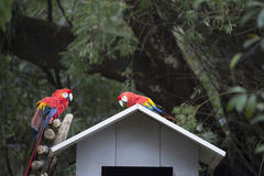 Scarlet Macaws Stock Images