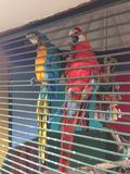 Scarlet macaws. Parrots in a cage tropical Royalty Free Stock Photo