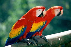 Scarlet Macaws on perch. Two Scarlet Macaw Parrots sitting on perch, La Paz Waterfall Garden, near San Jose, Costa Rica stock image