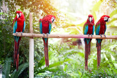 Scarlet macaws perched on a wooden post enjoying the warmth of the evening sun Stock Photos