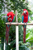 Scarlet macaws perched on a wooden post in a tropical forest Stock Images