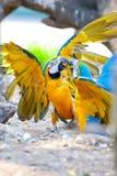 Scarlet macaws Royalty Free Stock Image