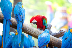 Scarlet macaws Stock Photos