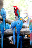 Scarlet macaws Stock Photography