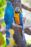 Scarlet macaws Royalty Free Stock Photography