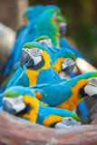 Scarlet macaws Royalty Free Stock Images