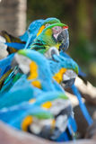 Scarlet macaws Royalty Free Stock Photos