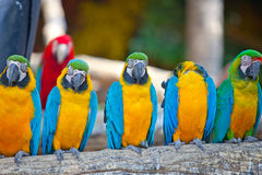 Scarlet macaws Royalty Free Stock Photo