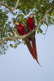 Scarlet Macaws in a tree Royalty Free Stock Photography