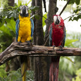 Scarlet macaws on the tree Royalty Free Stock Image