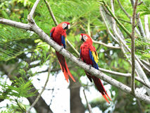 Scarlet macaws tree, corcovado, costa rica. Pair of wild scarlet macaws on tree, carate, corcovado national park, puntarenas, costa rica Stock Photography