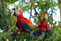 Scarlet Macaws. Two Scarlet Macaws (Ara Macao), Limonal, Costa Rica Stock Image