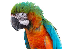 Scarlet macaws on white background Stock Image