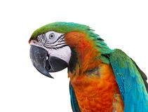 Scarlet macaws on white background Royalty Free Stock Image