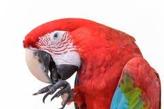 Scarlet macaws on white background Royalty Free Stock Photo