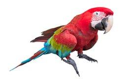 Scarlet macaws on white background Royalty Free Stock Photos