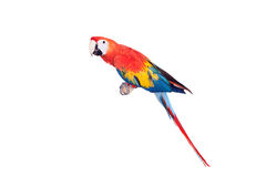 Scarlet macaws on the white background Stock Image