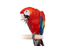 Scarlet macaws on the white background Royalty Free Stock Photos