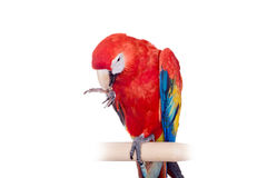 Scarlet macaws on the white background Royalty Free Stock Photography