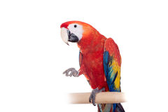 Scarlet macaws on the white background Royalty Free Stock Images
