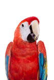 Scarlet macaws on the white background Stock Photography