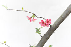 Scarlet Malus spectabilis flower Stock Photography