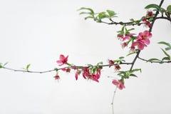 Scarlet Malus spectabilis flower Stock Image