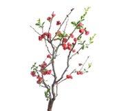 Scarlet Malus spectabilis flower in a garden Royalty Free Stock Photo