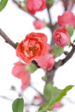 Scarlet Malus spectabilis flower in a garden Royalty Free Stock Photos