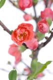 Scarlet Malus spectabilis flower in a garden Royalty Free Stock Photos