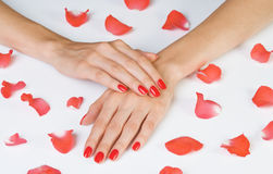 Scarlet manicure and rose petals. Beautiful hands with scarlet manicure and rose petals lying down isolated on white royalty free stock photo