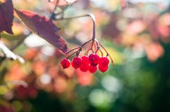 Scarlet Mature bunch of viburnum on a background of autumn leaves. Closeup Stock Photo