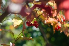 Scarlet Mature bunch of viburnum on a background of autumn leaves. Closeup Stock Photos