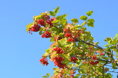 Scarlet Mature bunch of viburnum on a background of blue sky Royalty Free Stock Photos