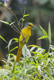 Scarlet Minivet Royalty Free Stock Images