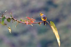 Scarlet Minivet. Female on small branches stock photography