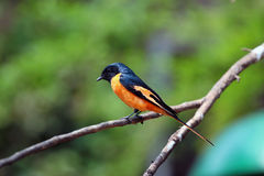 Scarlet minivet (Pericrocotus speciosus). A beautiful scarlet minivet perching on a branch Stock Images