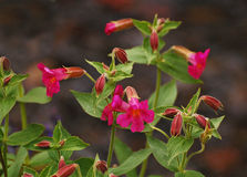 Scarlet Monkeyflower. Wildfowers at Mt Rainier National  Park Stock Photography