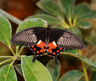 Scarlet Mormon Stock Photo