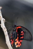 Scarlet Mormon Stock Photography