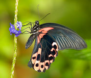 Scarlet Mormon Butterfly Stock Image