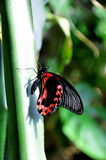 Scarlet Mormon Butterfly,aka,Papilio rumanzovia Royalty Free Stock Photography