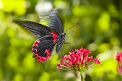 Scarlet Mormon Butterfly Royalty Free Stock Photography